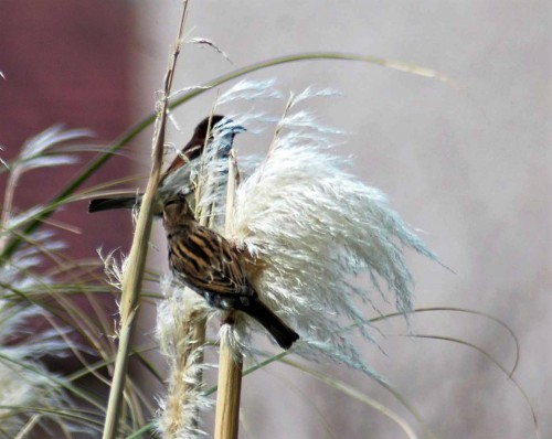House Sparrows Taking Pampas Grass Everyday Nature Trails
