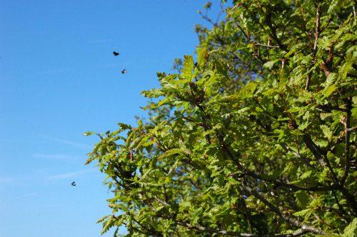 150513TGBE-Bryn Euryn woodland path 23-Longhorn Moths