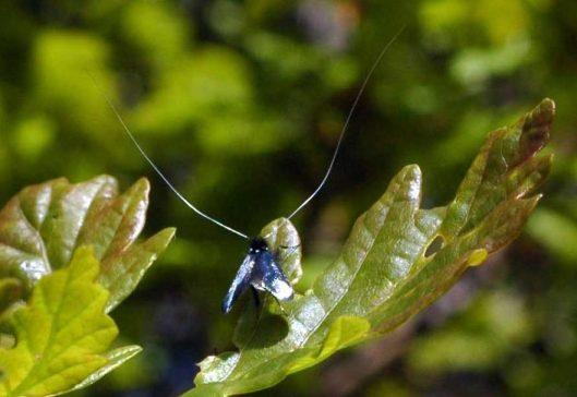 150513TGBE-Bryn Euryn woodland path 24-Longhorn Moths (8)