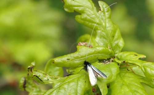 160509-Bryn Euryn-Green longhorn moth (m) 2