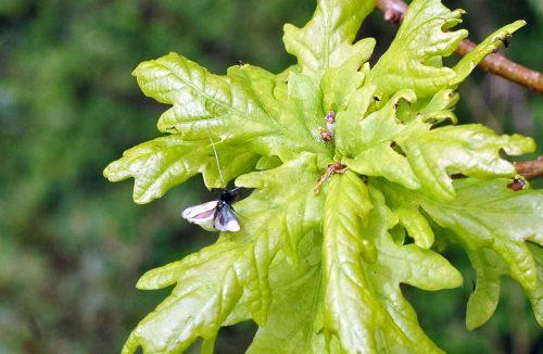 160509-Bryn Euryn-Green longhorn moth (m) 3