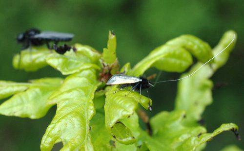 160509-Bryn Euryn-Green longhorn moth & St Mark's fly