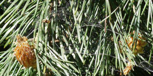 New cones on fallen Scots Pine