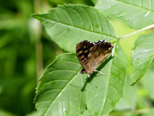160604-BE22-Speckled wood on ash