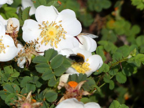 Burnet rose with Tree bumblebee