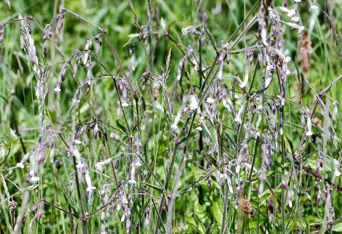 160605-BE1256-Nottingham Catchfly (4)