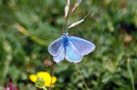Common Blue male upperside