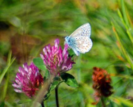 Common Blue male underside