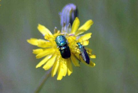 160605-BE39-Green metallic beetles-mating pair