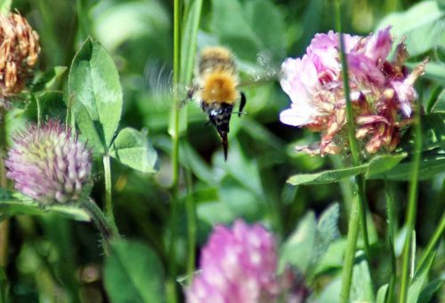 160605-BE42-Bee approaching clover