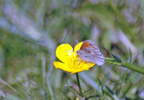 160605-BEBFLY-Small Heath on buttercup 1a