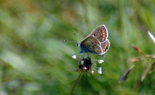 160605-BEBFY-Common Blue (f) 1