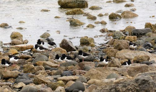 160620-Rhos Point 1337-Oystercatchers