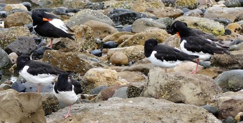 160620-Rhos Point 1337b-Oystercatchers