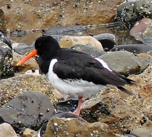 160620-Rhos Point 1339b-Oystercatcher with blunt beak