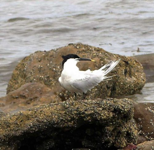 160620-Rhos Point 1340a-Sandwich Tern