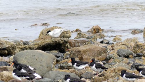 160620-Rhos Point 1342-Oystercatchers & Sandwich Tern 2