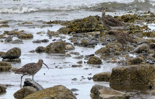 160620-Rhos Point 1344-Curlews foraging