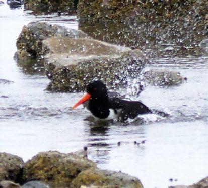 160620-Rhos Point 1346-Oystercatcher bathing