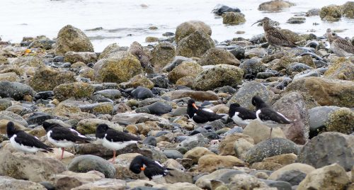160620-Rhos Point 1346-Oystercatchers & Curlews