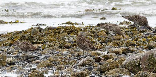 160620-Rhos Point 1347-Curlews foraging on sea edge