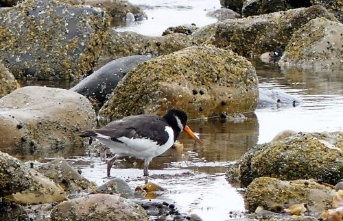 160620-Rhos Point 1347-Oystercatcher (2)