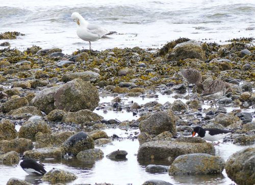 160620-Rhos Point 1348-Oystercatchers, Curlews & Herring Gull