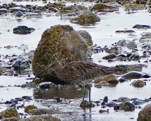 160620-Rhos Point 1349-Curlew