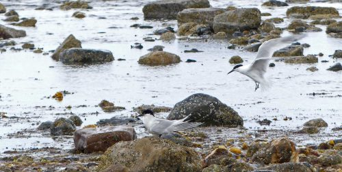 160620-Rhos Point 1352-Sandwich Terns