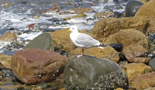 160620-Rhos Point 1404-Herring Gull 1