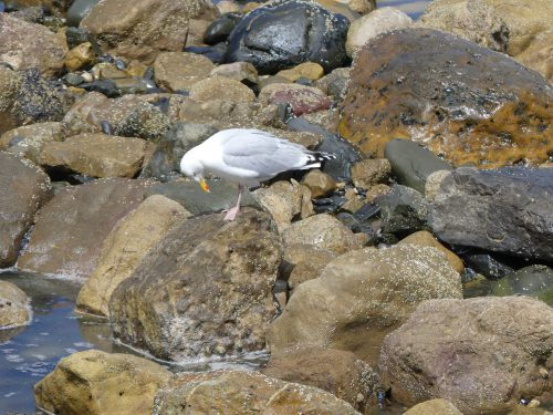 160620-Rhos Point 1404-Herring Gull