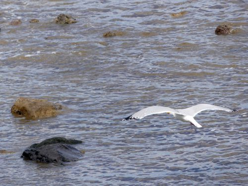 160620-Rhos Point 1410-Herring Gull 2