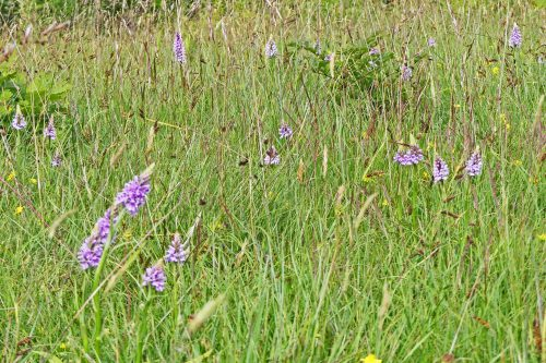 160623-46-Orchids in long grass among young trees