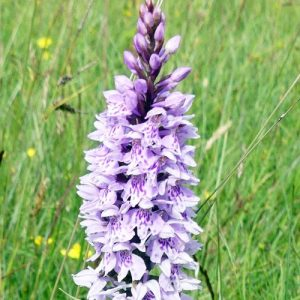 160623-55-Common Spotted Orchid 1
