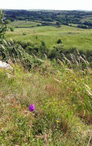 160623-Bryn Euryn-46-Pyramidal Orchid in landscape