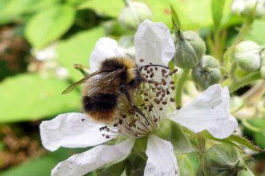160623-Bryn Euryn-Early Bumblebee workers