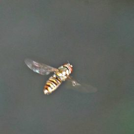 160623-Bryn Euryn-55-Hoverfly hovering