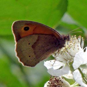 160623-Bryn Euryn-55-Meadow Brown