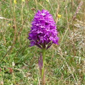 160623-Bryn Euryn-55-Pyramidal Orchid