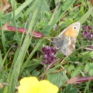 Small Heath-Coenonympha pamphilus