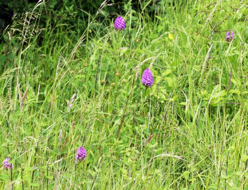 160623-Bryn Euryn-Orchids in long grass
