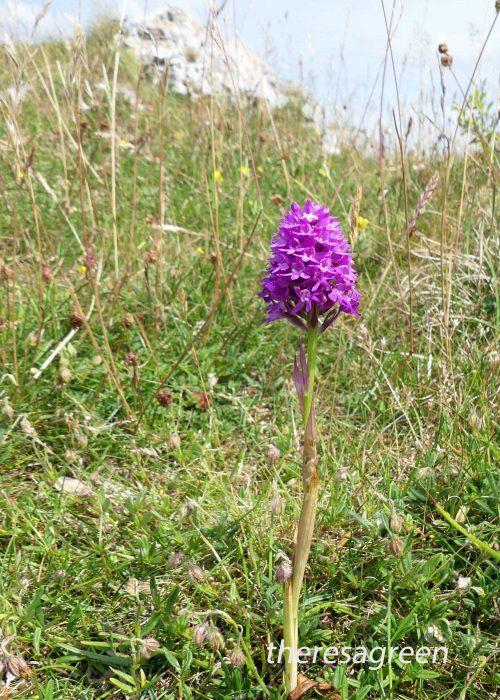 23/6/16-Pyramidal Orchid-Bryn Euryn