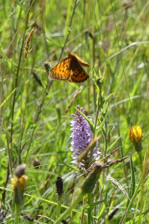 160703-108-Bryn Euryn-46-Dk Green Fritillary leaving Common Orchid