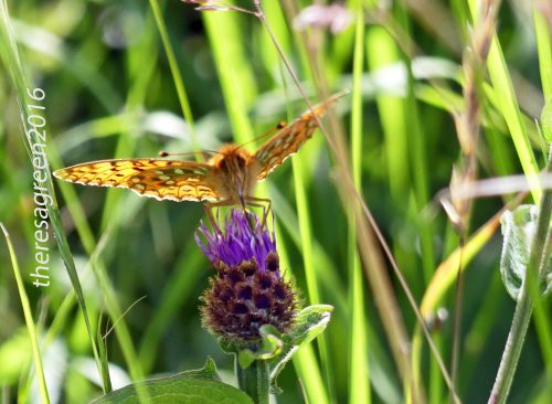 160703-46-Bryn Euryn-Dk Green Fritillary 1