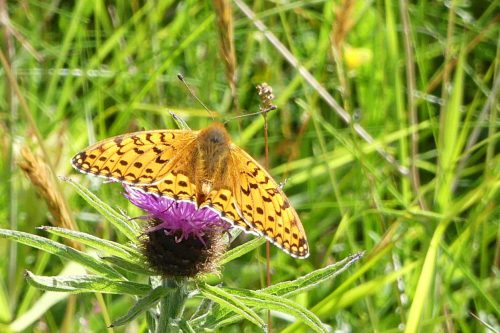 160703-46-Bryn Euryn-Dk Green Fritillary on Knapweed 1