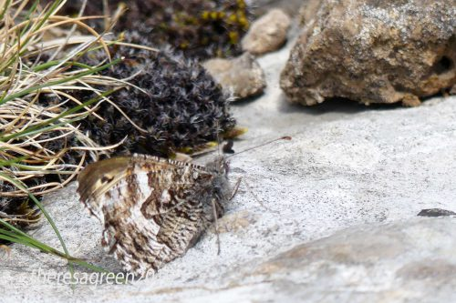 160703-46-Bryn Euryn-Grayling on summit cliffs 6