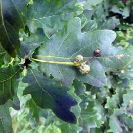 Stalked acorns of Pedunculate Oak