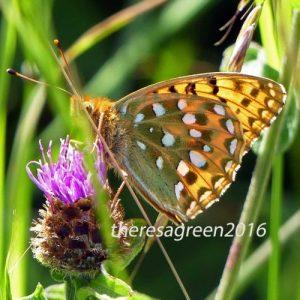 160703-55-Bryn Euryn-Dk Green Fritillary underside