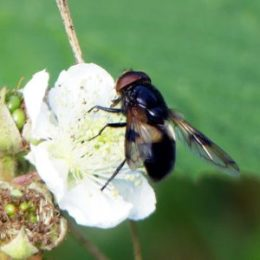 Pellucid Fly