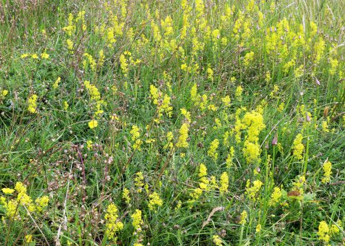 160703-Bryn Euryn (19)-Lady's Bedstraw